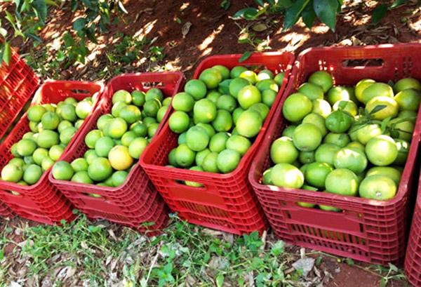 Estado mantém setor de produção de laranja ativo para suprir demanda pela fruta - Foto divulgação CDRS